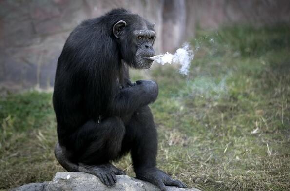 Шимпанзе, което пуши цигари, е новата атракция в Северна Корея