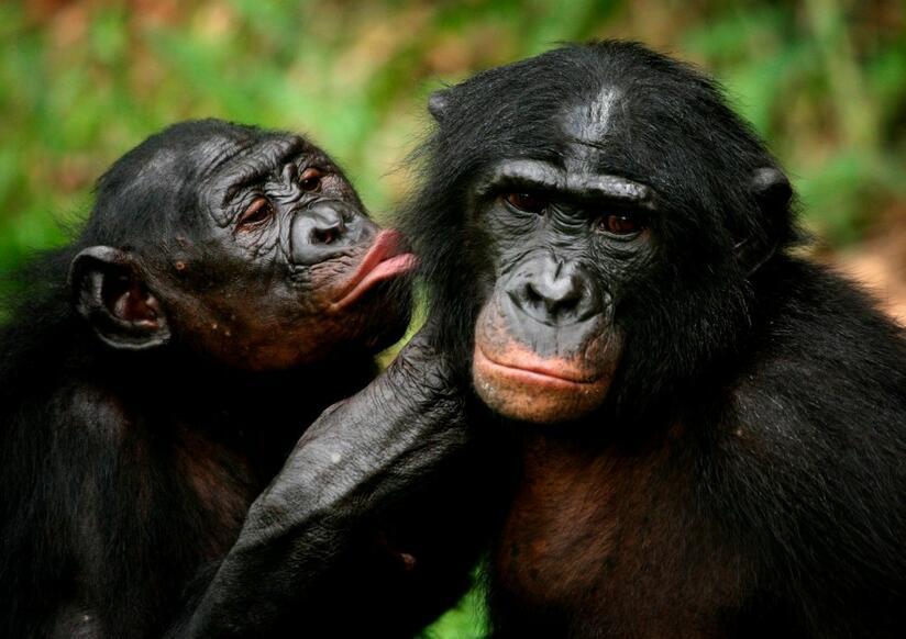 Секс с шимпанзе