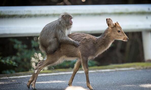 Любовта граници не познава: Макак се люби с елен