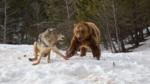 Мечка гризли краде вечерята на глутница вълци
