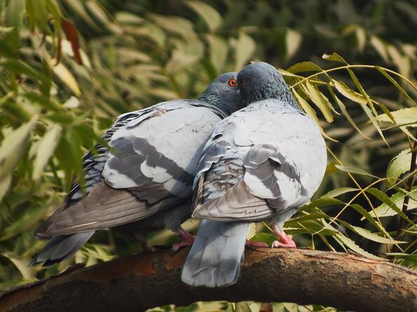 Защо никога не виждаме бебета гълъби?