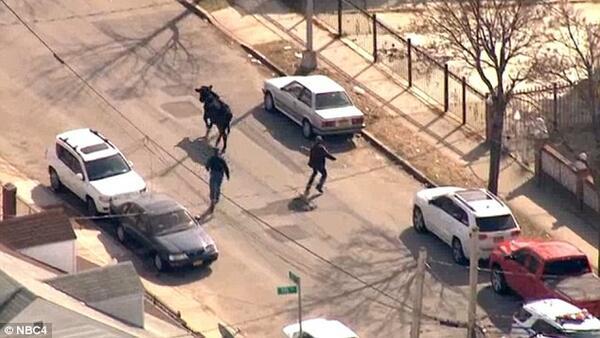 Видео: Полицаи се опитват да хванат крава, но не знаят как