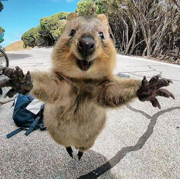 """<p>Едва листе чувализа тях преди, но<span><span style=""""background-image: url(../img/wline.gif);"""">Куоките</span></span>са изключително усмихнати и жизнерадостни животни. Те са от семейството на кенгуруто и обитават малки острови в Австралия.</p>"""