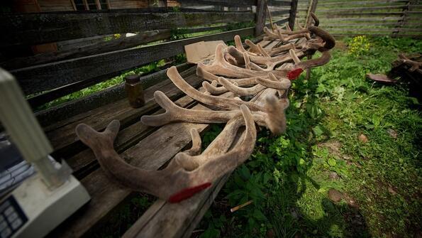 3 редки животни, които се убиват заради органите!