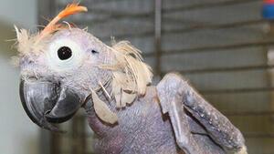 Индийски папагали наркомани стават проблем за държавата!