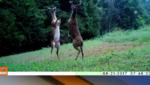 Видео на деня: епичен бой на елени!