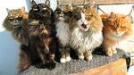 В Сибир има ферма, пълна с пухкави котки