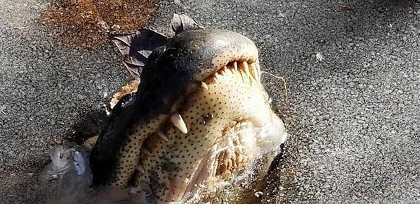 В САЩ е толкова студено, че даже алигаторите замръзнаха!