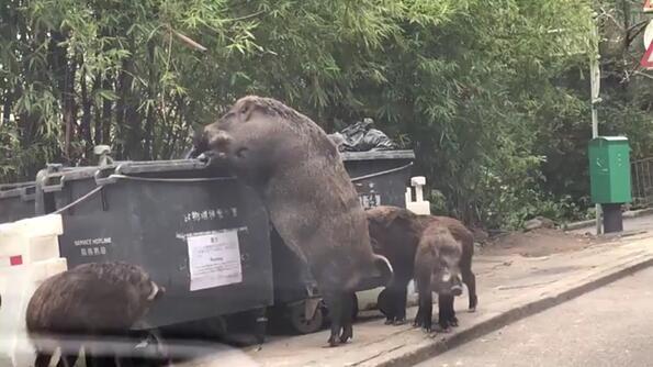 Огромни диви прасета смениха уличните кучета в Хонконг