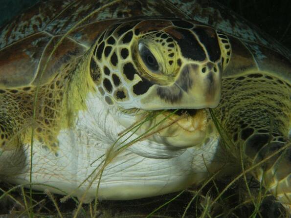 Тайните подводни ливади на костенурките