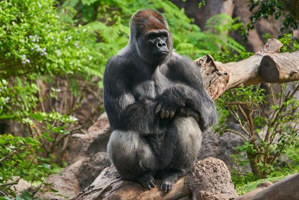 Това брилянтно видео с горила стана вайръл