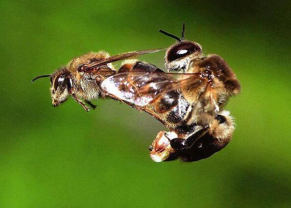 Кралицата-пчела обича секса повече, отколкото сме си мислели някога