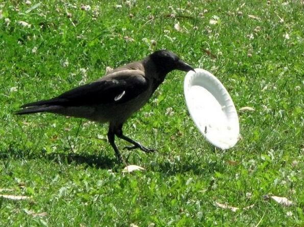 Във френски парк обучиха враните да чистят след хората!