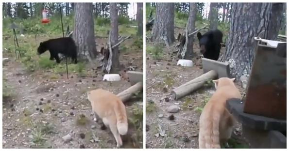 Истинска руска котка ловува мечка!