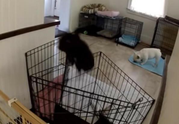 Това куче толкова ловко се измъква от клетката, че трябваше да я следят с камера