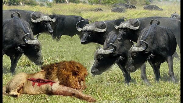 Биволи срещу лъвове: невероятно видео