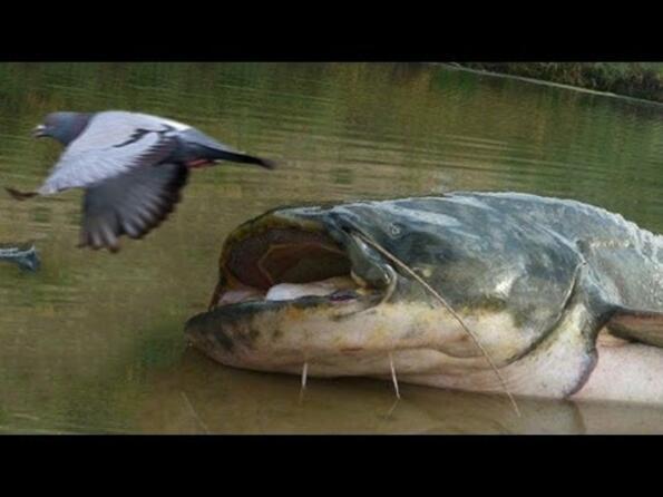 Възможно ли е сом да хване гълъб?