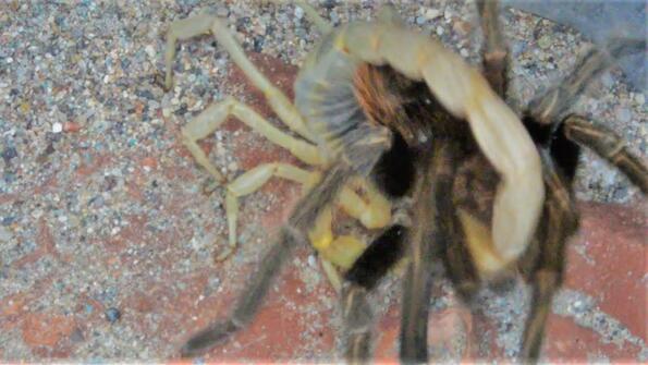 Смъртоносна битка: скорпион срещу паяк